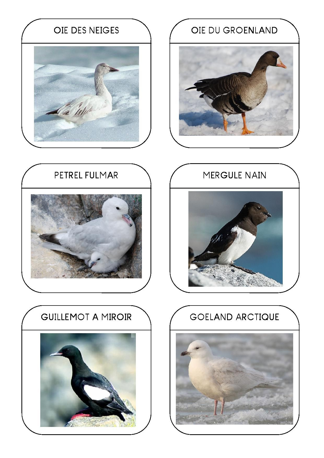 Oiseaux polaires 2 sciences 02 zoologie pinterest - Animaux pole nord ...