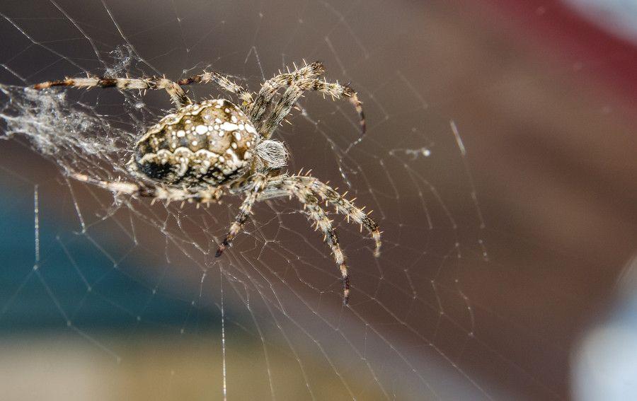 Crusader, spider #1