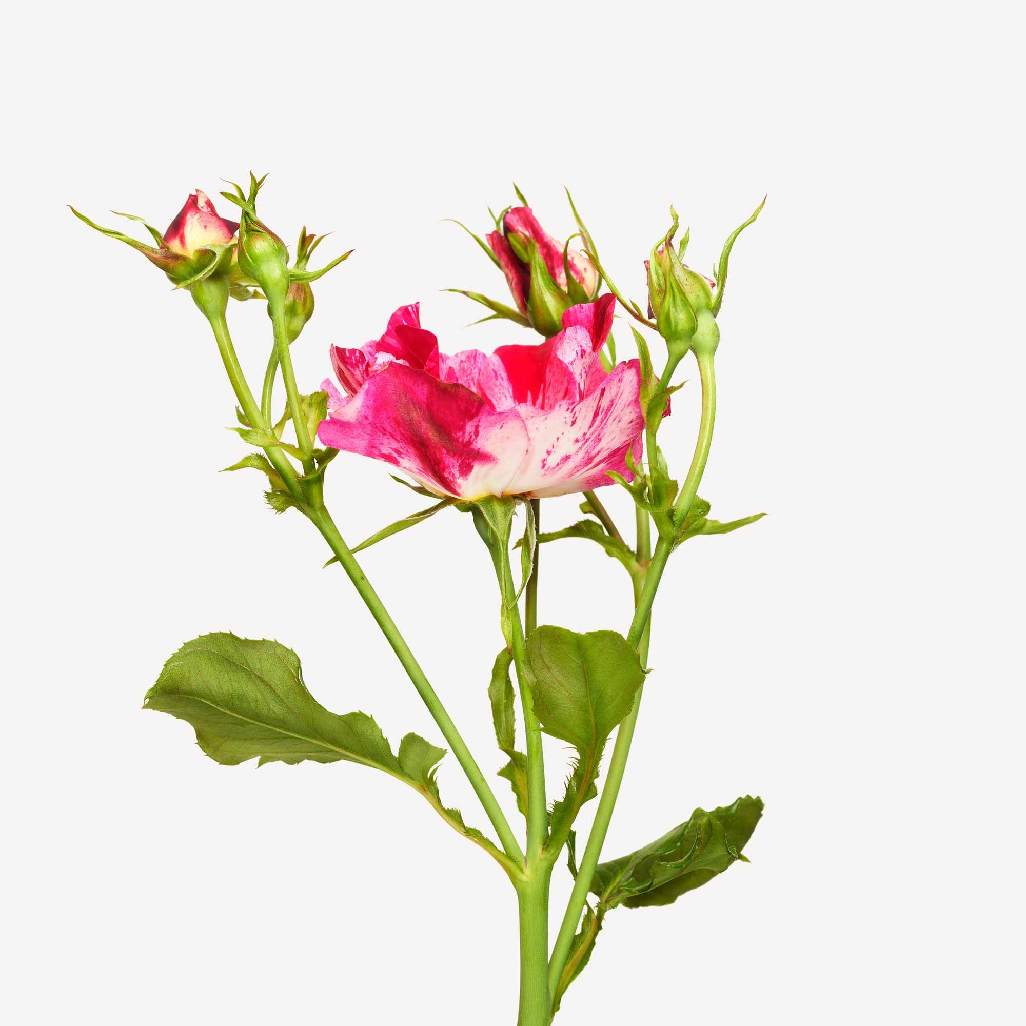 110609FL_bronx_bontanical_rose_garden_236.jpg (2000×2000)