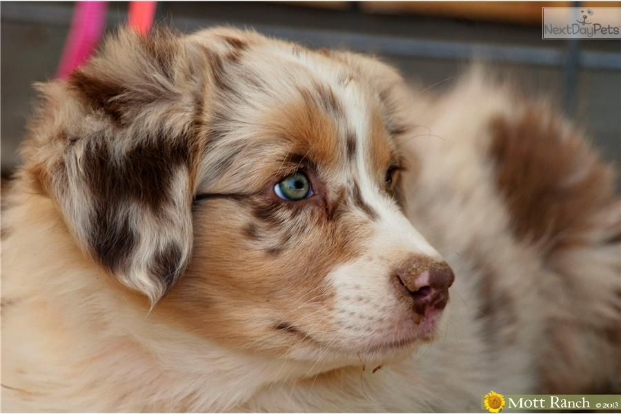 Red Merle Australian Shepherd Show Quality Red Merle Female