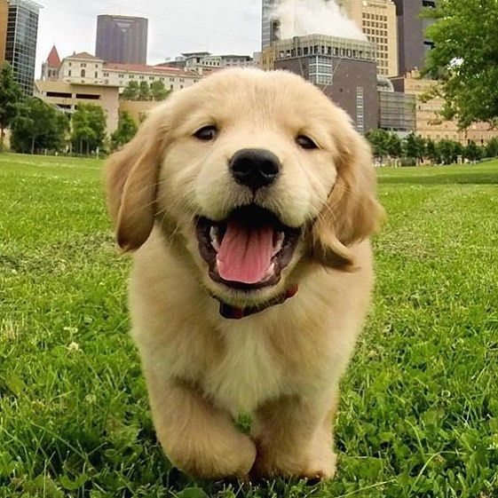 May 2016 Be As Happy As This Dog Welovegoldens By