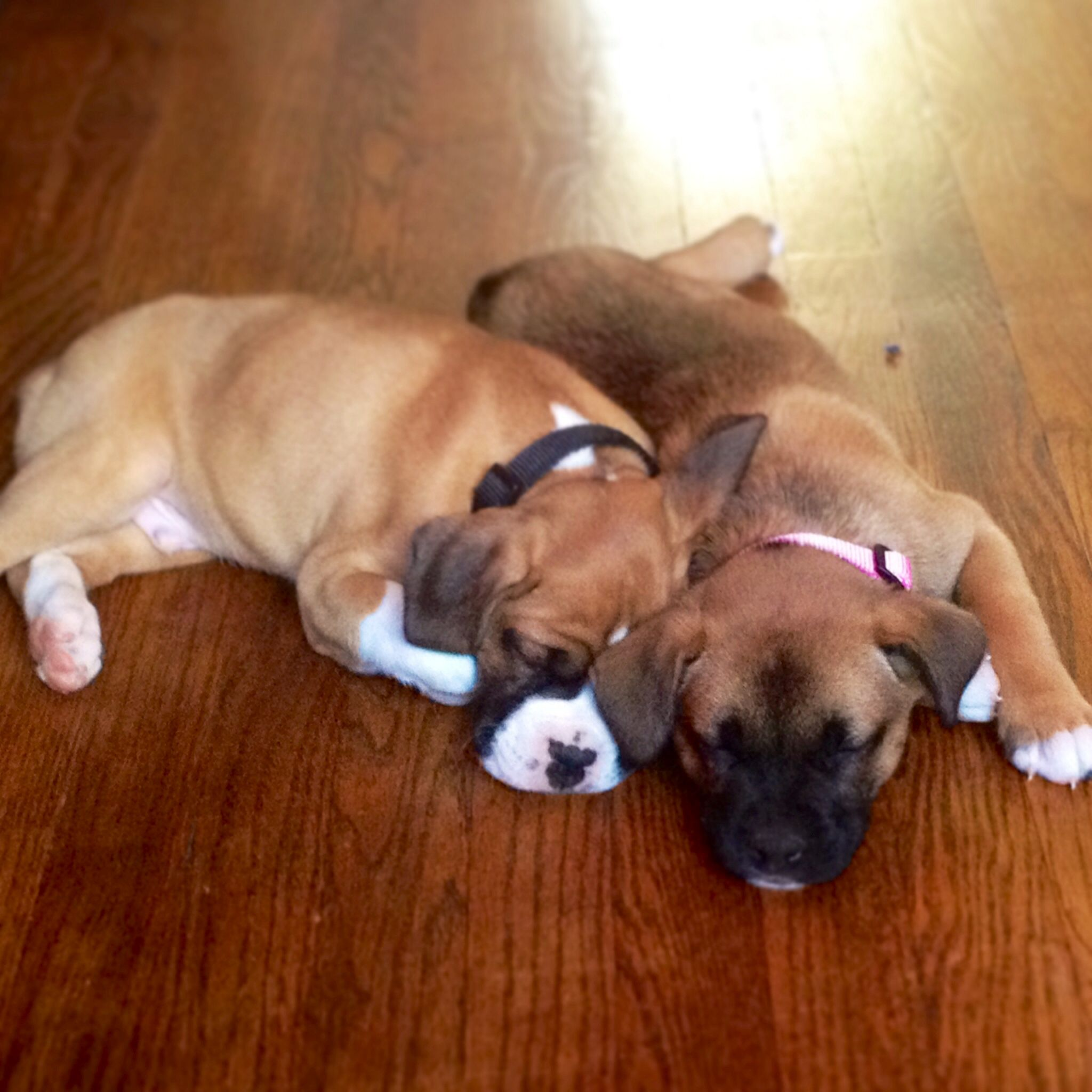 Puppy Love Boxer Puppy Puppies Boxer Dogs Boxer Puppies Boxer Dogs Funny