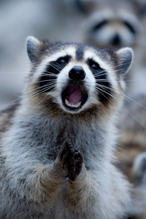 Image Source  Corbis  Mr Raccoon Is Excited About Halloween...