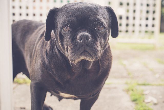 5 Things To Consider Before Adopting A Rescue Pug Pugs For