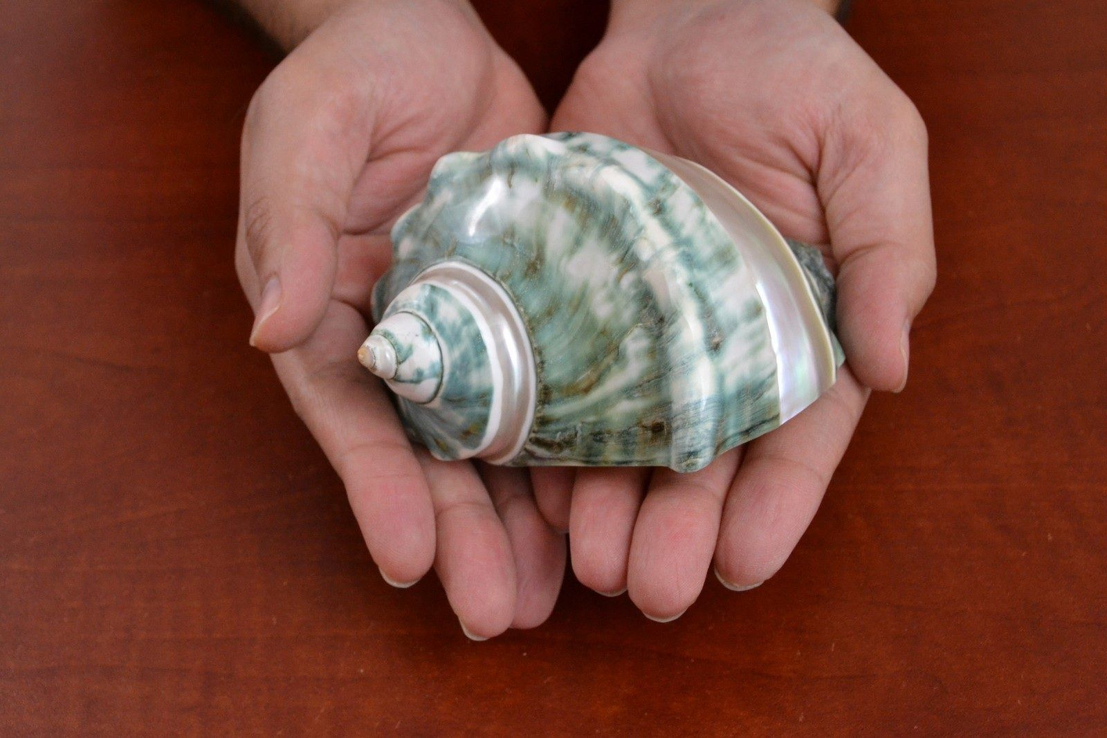 "GREEN TURBO BANDED MARMORATUS SEA SHELL BEACH DECOR 4 1/2"" $35.00 #supershell"