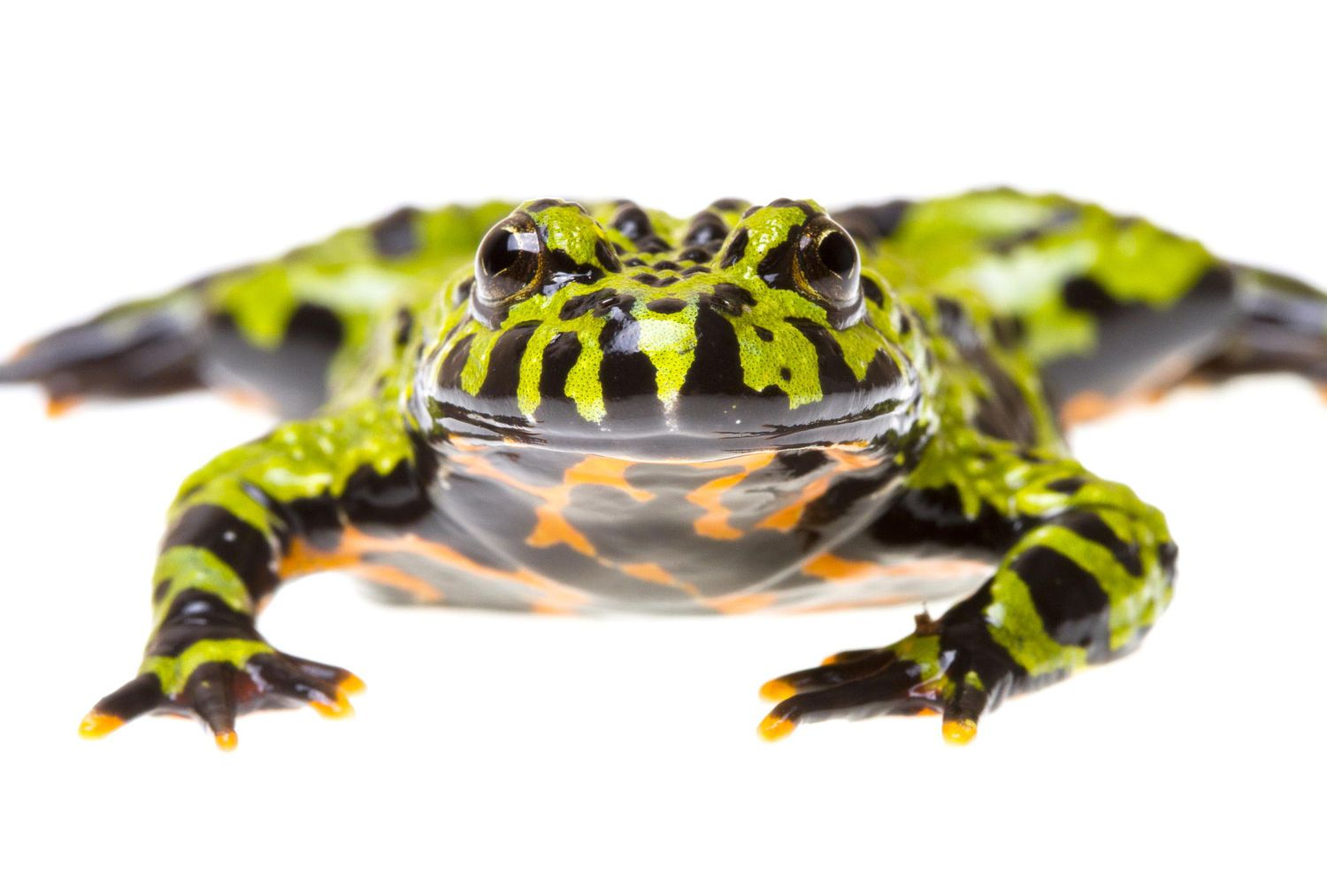 Fire Bellied Toad by Ryan Vince