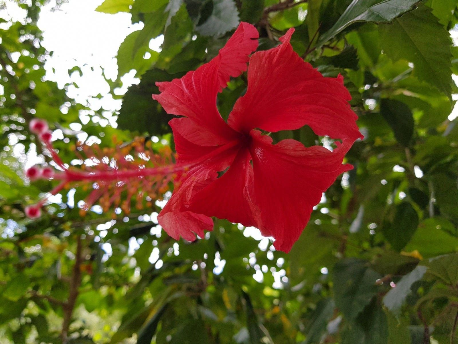 Rich Red Hibiscus Flower From Philippines A Flowering Plant That Comes In Many Different Colours Famous In Tropical Countri Hibiscus Flowers Flowers Hibiscus