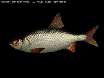 3D Model A small river fish c4d, obj, 3ds, fbx, ma, lwo 15008