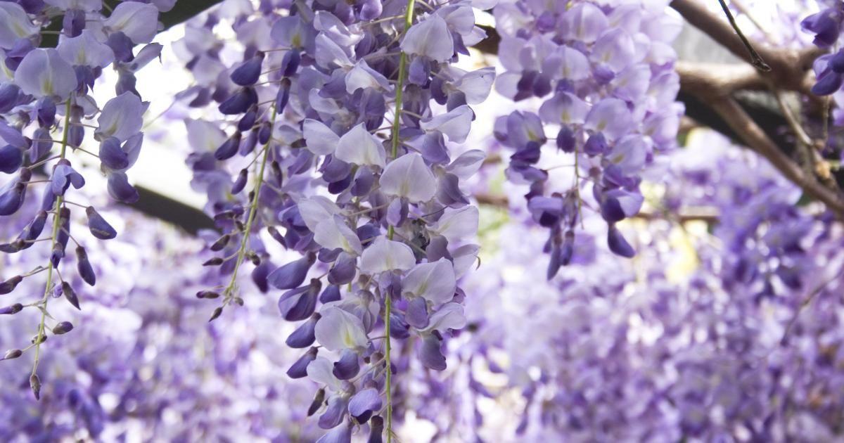 Der Blauregen (Wisteria) hat mit seinem unbändigen Wuchs schon  so manchen Hobbygärtner überfordert. Um ihn im Zaum zu halten, müssen Sie zweimal im Jahr zur Gartenschere greifen – aber seine prächtige Blüte ist den Aufwand wert.