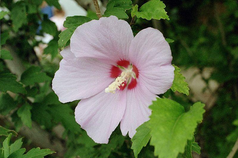 무궁화(Hibiscus Syriacus), The National Flower Of South Korea