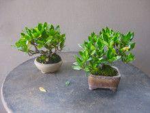 盆栽:クチナシのミニを刈る |春嘉の盆栽工房