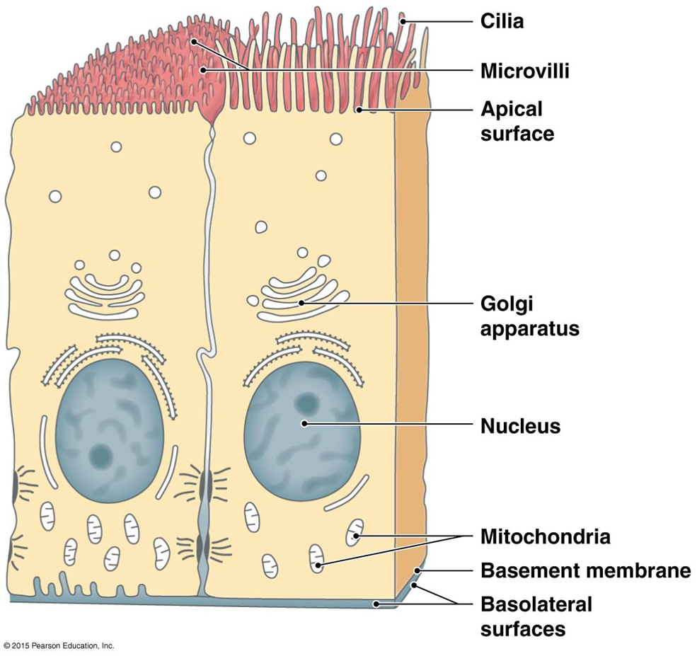 apical surface of epithelial cells anatomy and physiology Cilium Microvilli Diagram the histology guide epithelia
