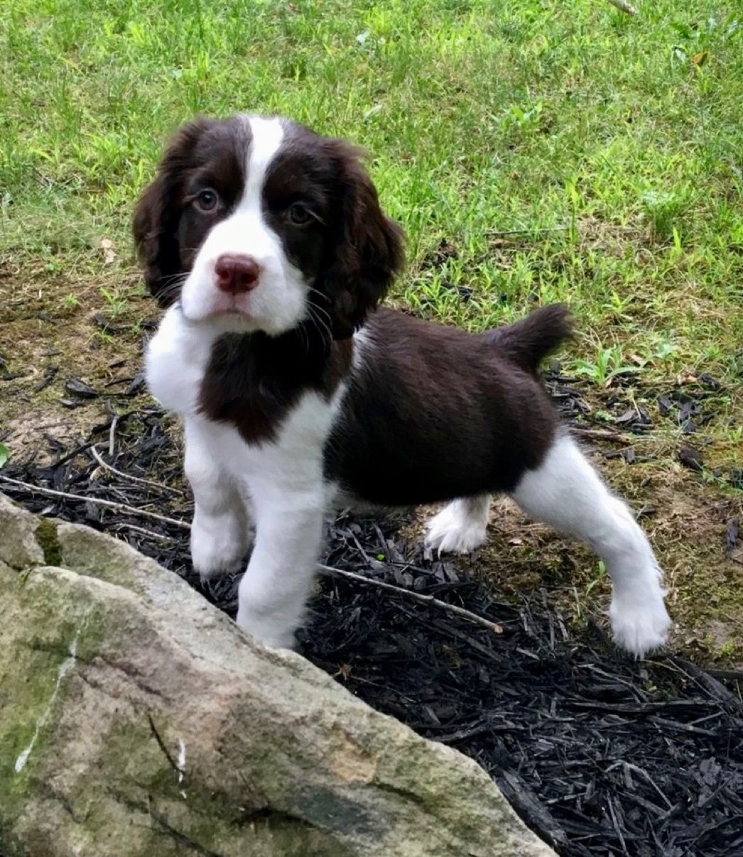 Pin By Susiemac On Dogs Puppies Springer Spaniel Puppies Spaniel Puppies Springer Puppies