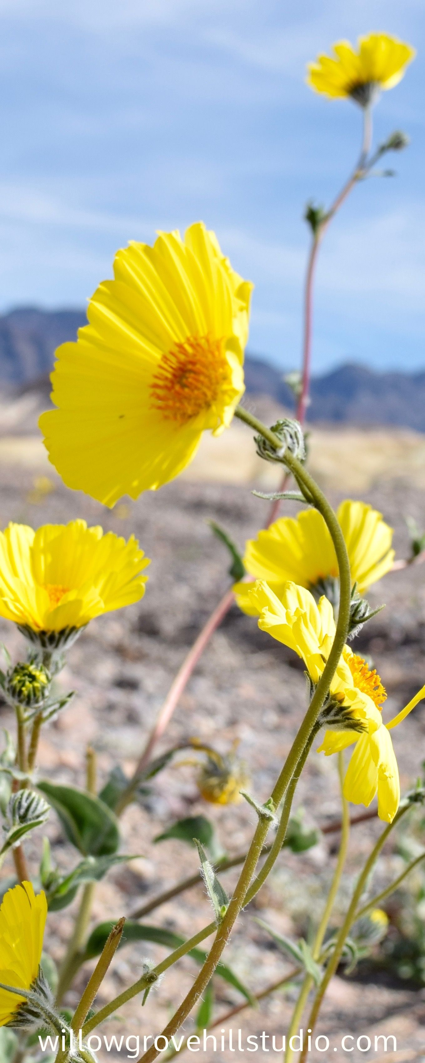 Home Amazing Blooms Pinterest California Wildflowers Death