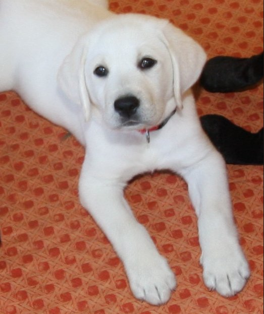 Perfect Pup White Lab Puppies Retriever Puppy Labrador Retriever