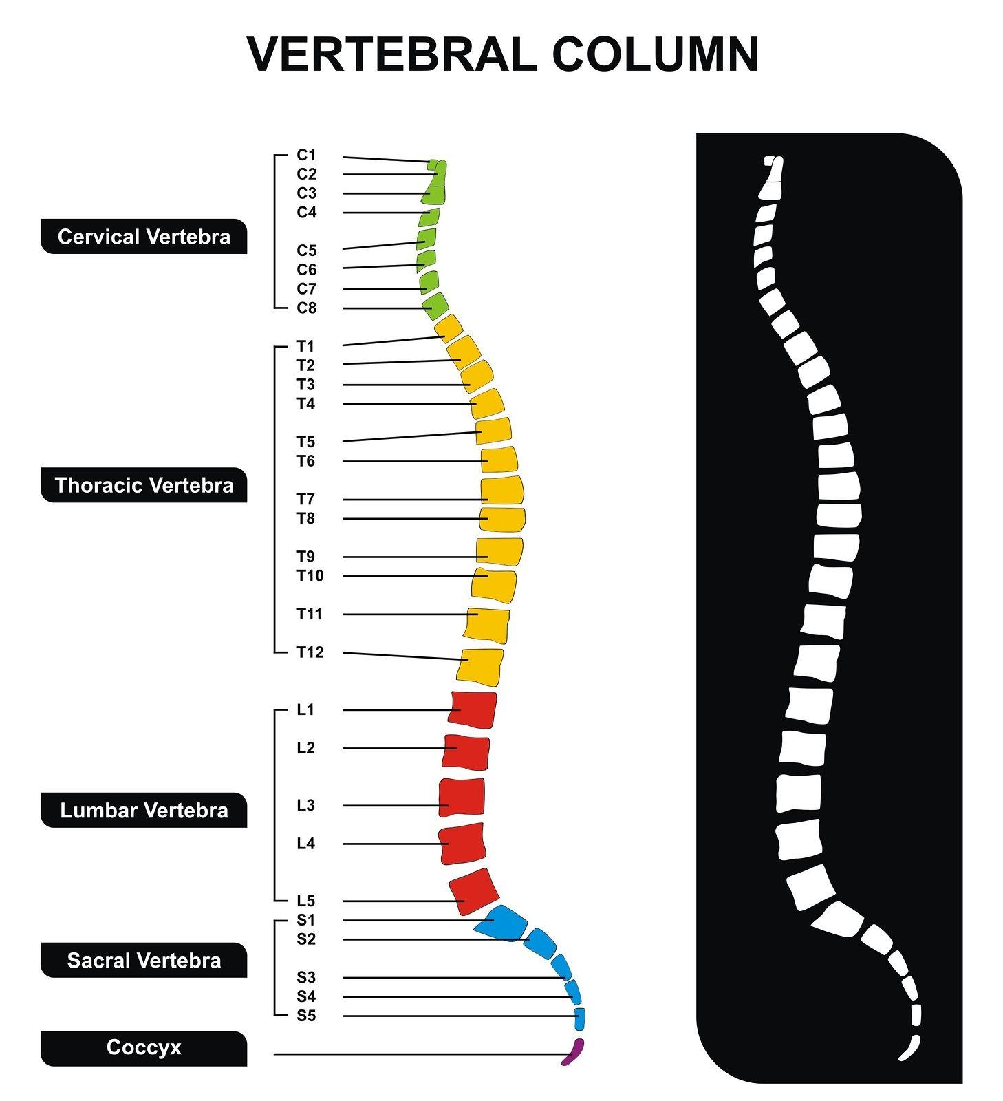 Vertebrae Column Research Studies Explained 2 A Closer