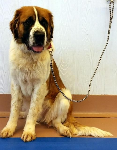 Adopt Gretchen On St Bernard Dogs Bernard Dog Animal Welfare League