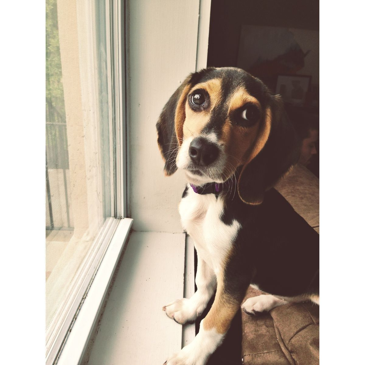 I Need Pocket Beagle Beagle Puppy Cute Beagles Beagle