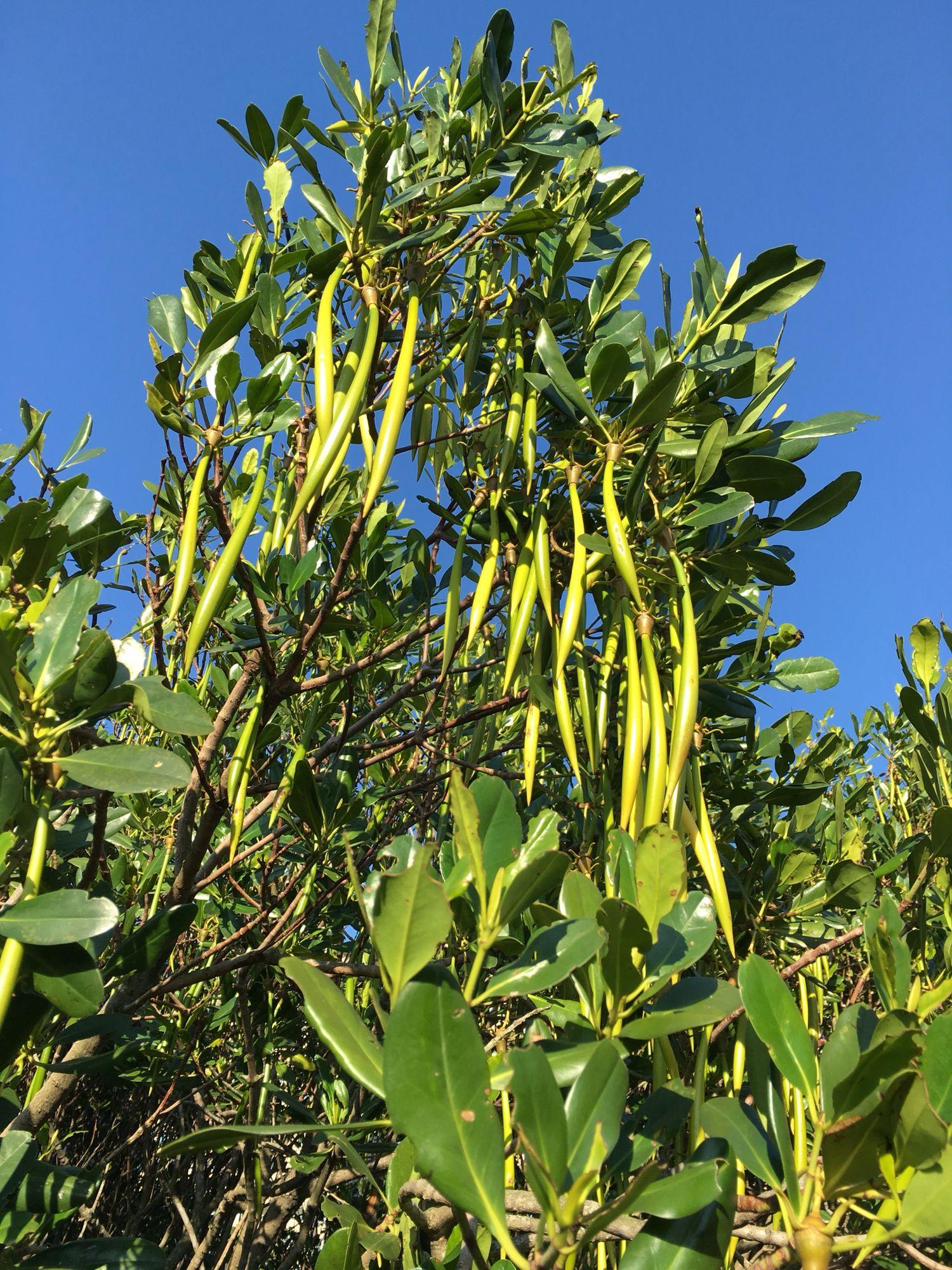 Kandelia 水筆仔 Mangrove, Plants, Around the worlds