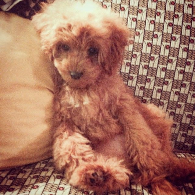 Ellie The Cavapoo King Charles Cavalier Poodle Mix Puppy Animal Cutepuppy Katiej266 S Photo On Instagram