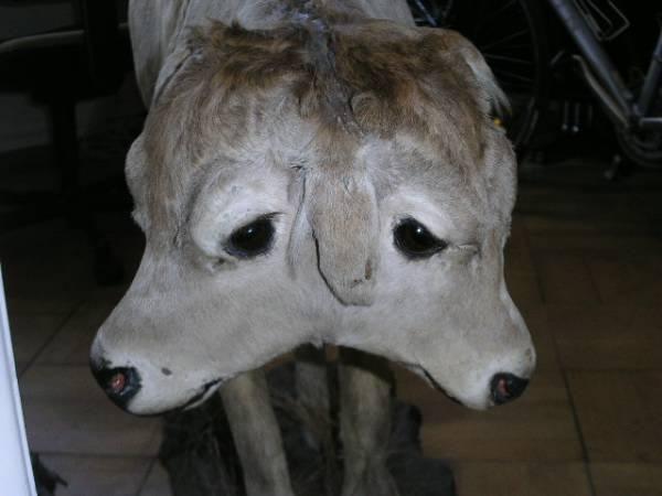 siamese calf, Collection Schiel