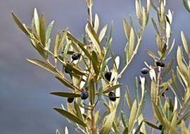 pflege von einem olivenbaum so w chst der baum pr chtig garten olivenbaum garten und. Black Bedroom Furniture Sets. Home Design Ideas