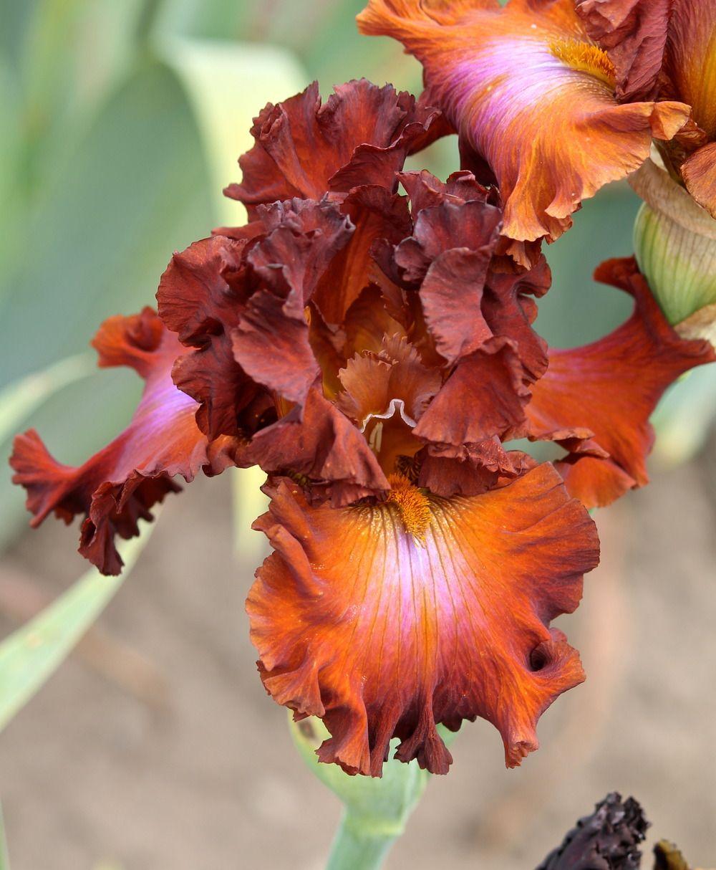 Photo of Tall Bearded Iris (Iris \'Cherokee Blaze\') uploaded by ...