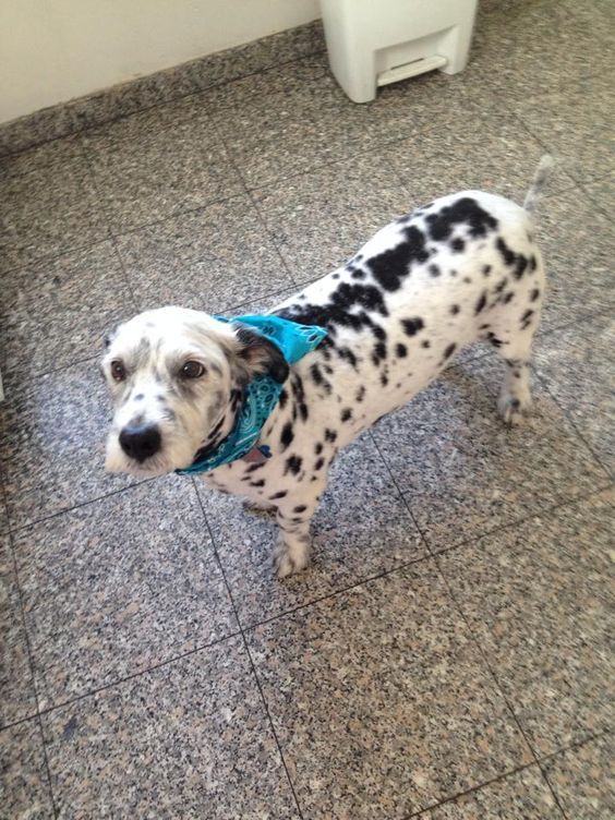 This Is A Corgi Dalmatian Mix Has Science Gone Too Far Http