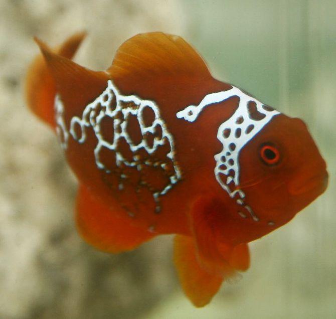 Right Side Of The Lightning Maroon Clownfish Photo By Ret Talbot Clown Fish Saltwater Aquarium Ocean Animals