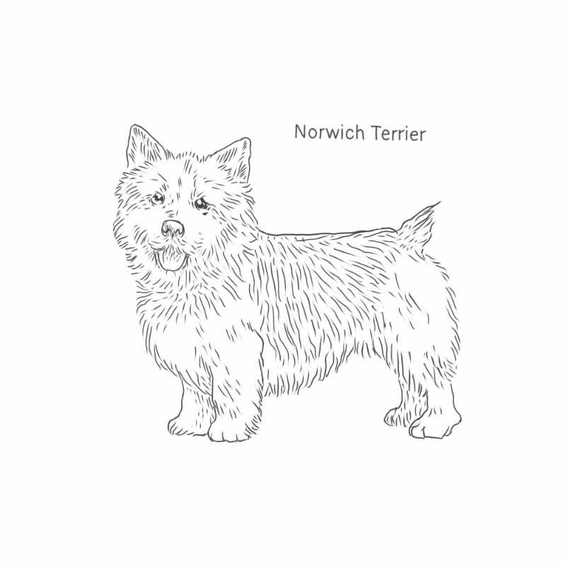 Norwich Terrier Drawing Dog Breeds List Norwich Terrier Dog Breeds List Terrier Dog Breeds