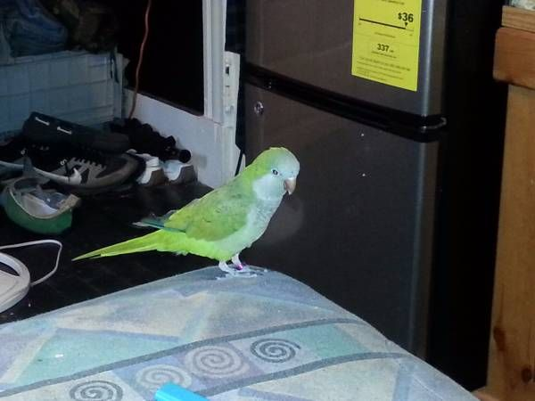 Bird missing (Blatchley ave new,haven) hide this posting
