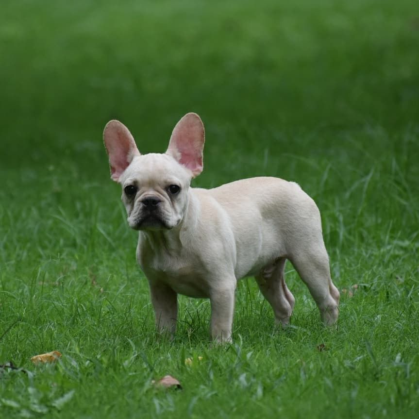 Pin On French Bulldogs