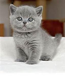 British Shorthair Cats British Shorthair Kittens British Shorthair Cats Grey Kitten