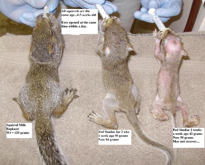 Newborn Squirrel Care Baby Squirrel Care Baby Squirrel Squirrel