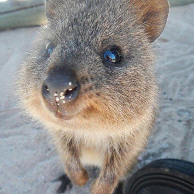クアッカワラビー(Setonix brachyurus)は、双前歯目カンガルー科クアッカワラビー属に分類される有袋類 ...