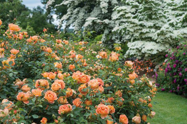 Best David Austin Roses for Pacific Northwest Gardens