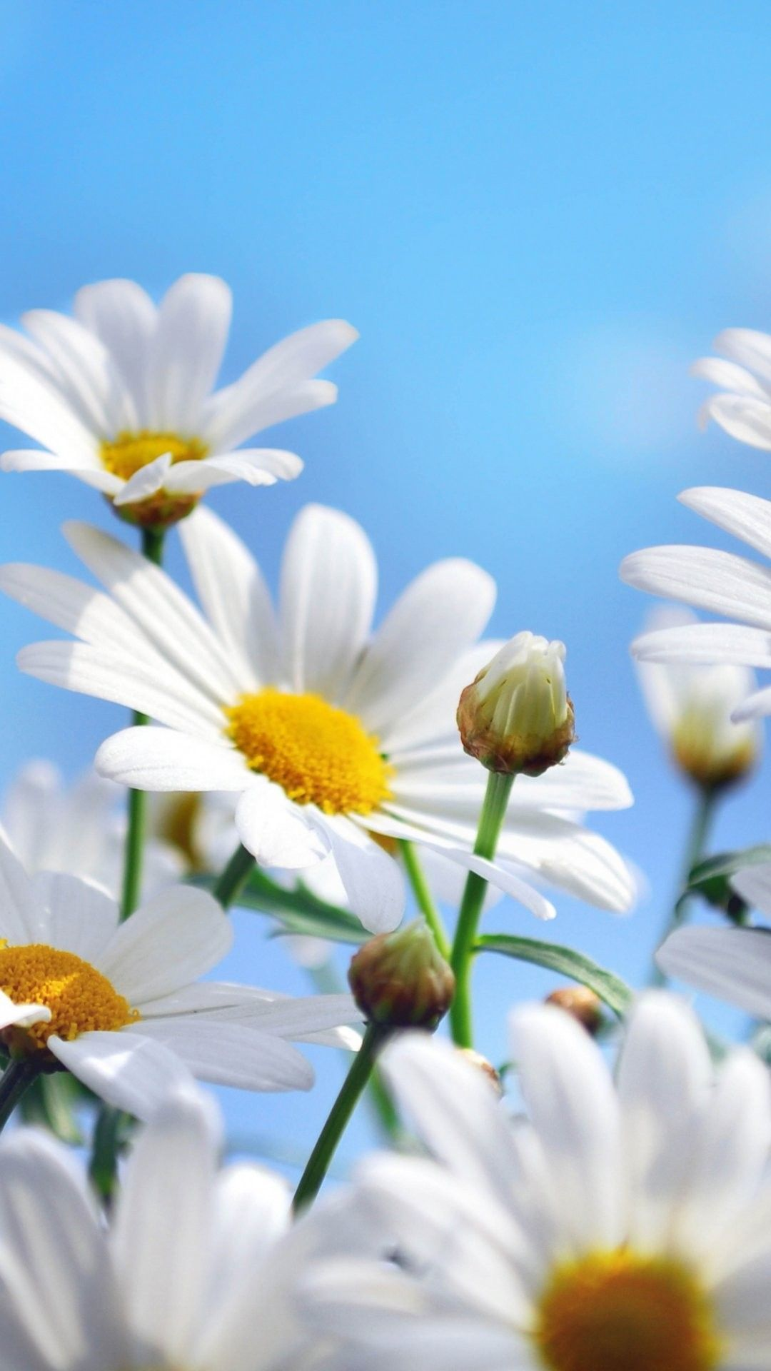 Daisies Hd Iphone 6 Plus Wallpaper 19740 Flowers Iphone 6 Plus