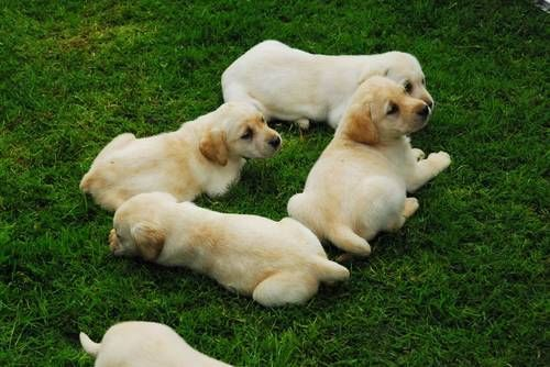Pin By Ruthie Oliver On For The Home Labrador Retriever Dogs