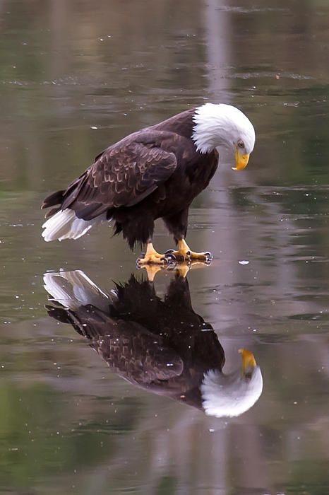 Eagle On Ice by James Geddes - Eagle On Ice Photograph - Eagle On Ice Fine Art Prints and Posters for Sale