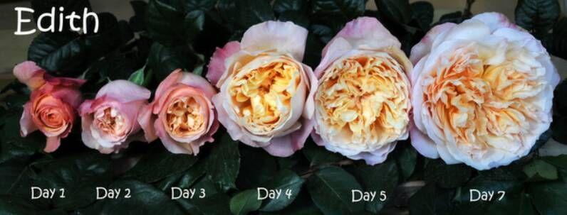 das wachstum des david austin rose davidaustin rosen englischenrosen blumederwoche - Garden Rose