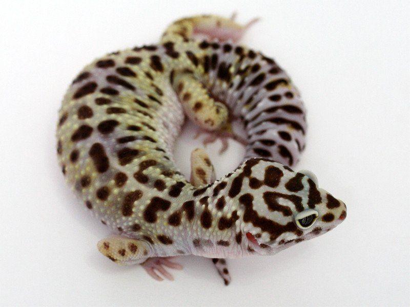 Halloween Mask Leopard Gecko.Extreme Halloween Pure Halloween Mask Leopard Gecko 070318b