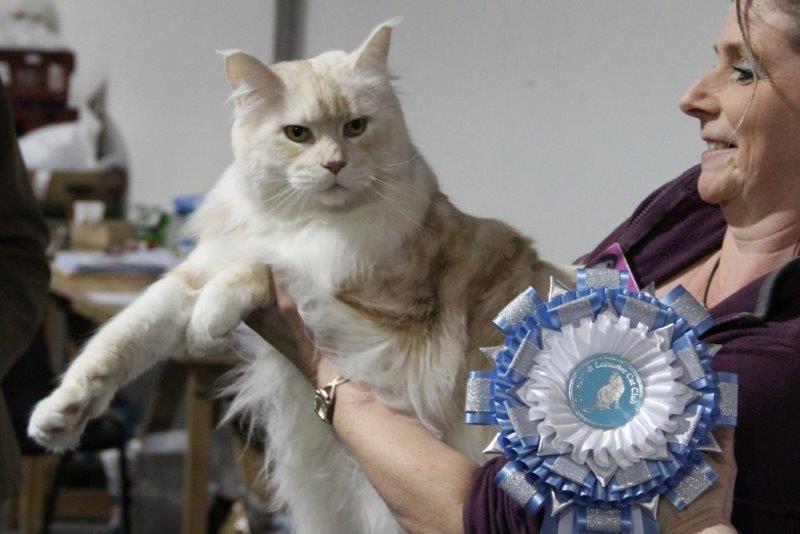 Coventry Leicester Cat Show Photos 2014 Uk Cat Breeders Cat