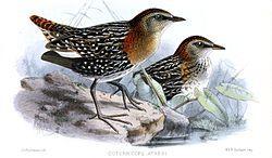 Sarothrura CoturnicopsAyresiKeulemans.jpg Sarothrura ayresi Taxonomía Reino:Animalia Filo:Chordata Clase:Aves Orden:Gruiformes Familia:Rallidae Género:Sarothrura Heine, 1890