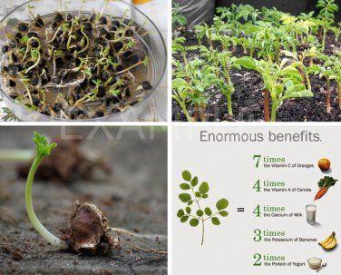 Drumstick Tree Of Life Malunggay Moringa Oleifera 20 Seeds Moringa Miracle Tree Seeds