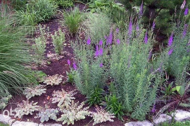 7 Zl Lnica Purpurowa Sadzonka W Doniczce Okolo 30cm Wysokosc Okolo 60cm Piekna Bylina Na Kwiat Ciety Gleba Przepuszczalna P Plants Garden Yard Ideas Garden