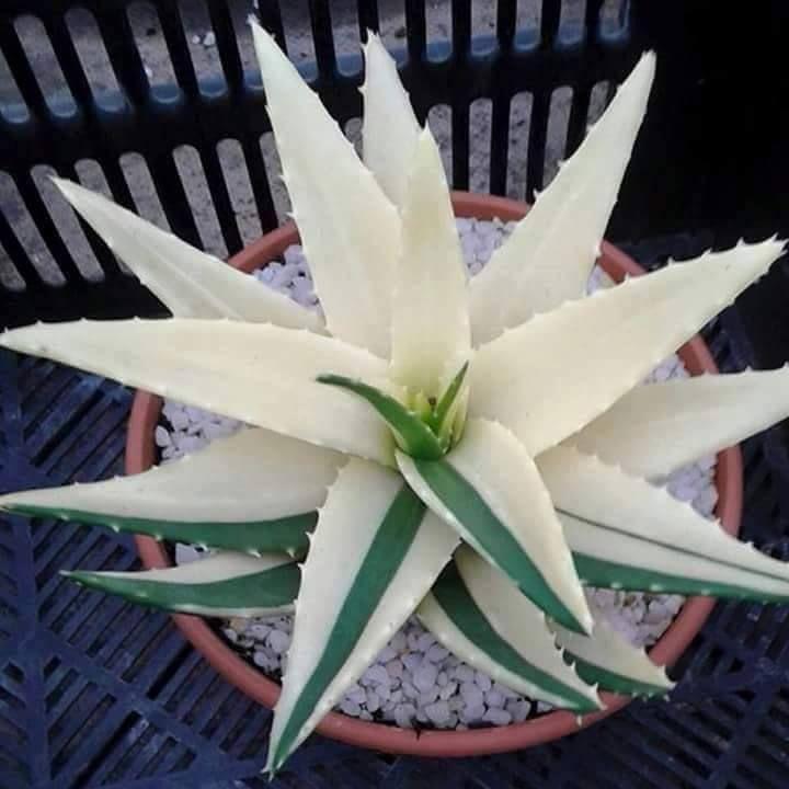 What A Stunner White Aloe Vera Aloe Nobilis Variegata Succulents Plants Bonsai Plants