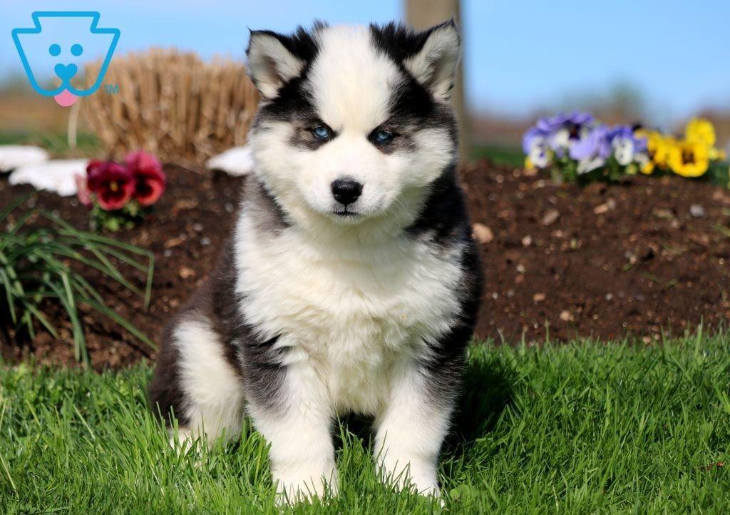 Teddy Husky Puppies For Sale Husky Puppy Puppies