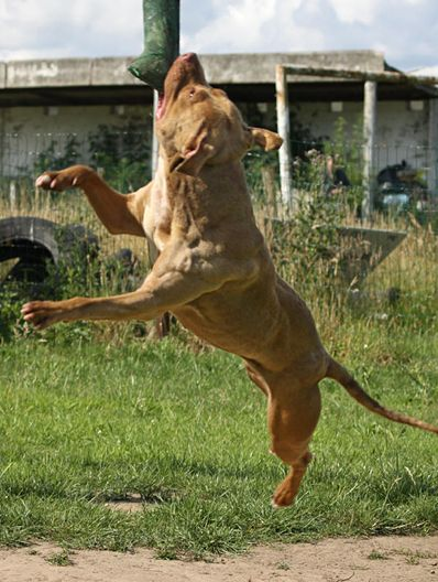 Pitbull Strength Training And Muscle Building Pitbulls American