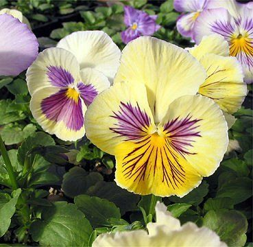 Pansy Seeds Character Felix Blush 100 Bulk Seeds Flower Seeds Seeds Pansies