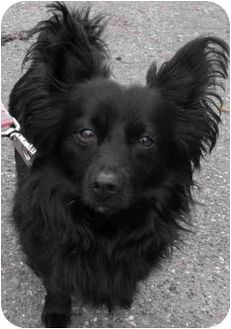 Papillon Pomeranian Mix Dog For Adoption In North Vancouver